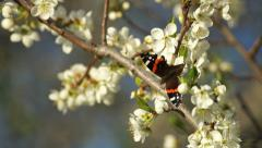 Colorful butterfly collects nectar from blossoms Stock Footage