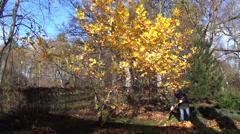 Gardener rake leaves into piles next to tree autumn work Stock Footage