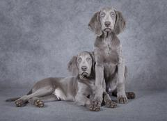 weimaraner puppies in front of grey background - stock photo