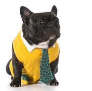 Male french bulldog Stock Photos
