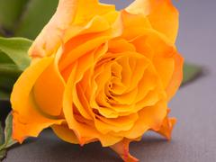 Close-up of an orange colored rose - stock photo