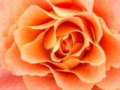 Close-up of light colored orange rose - stock photo