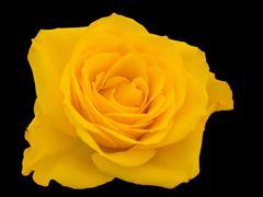 Close-up of a yellow rose - stock photo