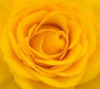 Close-up of yellow rose - stock photo
