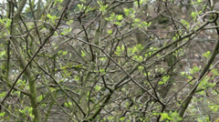 Tangle branch of blooming rowan. Stock Footage