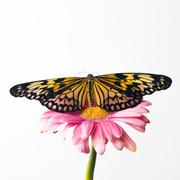 beautiful plain tiger butterfly perching on pink flower - stock photo