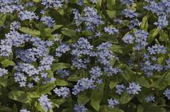 Stock Photo of Blue forget-me-not flowers, the symbol of love