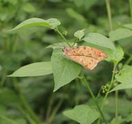 Butterfly,Great orange tip ,Hebomoia glaucippe formosana Stock Photos