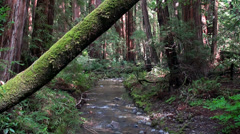 Creek at the thicket of Muir Woods National Monument. Stock Footage