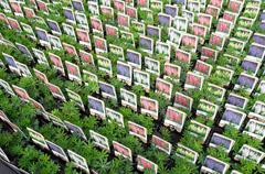 lupinus plants at wholesale. - stock photo