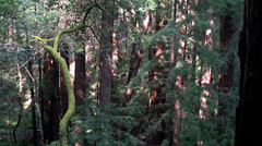 Coast Redwood trees at the Muir Woods National Monument. Stock Footage