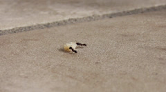 Ants carrying away crumbs Stock Footage