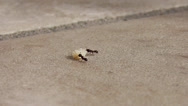 Stock Video Footage of ants carrying away crumbs