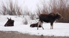 Three Moose in Yellowstone National Park - stock footage