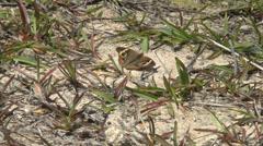 Common Buckeye Moth Stock Footage