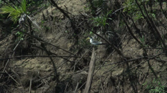 Stock Video Footage of 0110 Pantanal, yellow-billed tern on tree in water, slowmotion