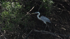 0106 Pantanal, cocoi heron (Ardea cocoi) takes off, slowmotion Stock Footage