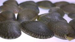 Closeup fresh raw Surf clam isolated, Dolly shot Stock Footage
