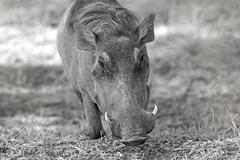 Wild warthog Stock Photos