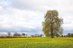 yellow Canola oilseed flower Field - stock photo