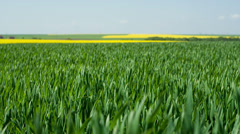 Spring field of fresh green grass and yellow flowers, rape - slider motion Stock Footage