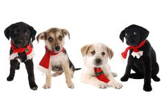 Puppies in Christmas Holiday Scarves - stock photo