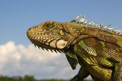 Iguana  amazon Stock Photos
