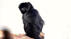 Black monkey on white background Stock Footage