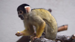 Squirrel monkey eats a fruit and leaves the branch Stock Footage