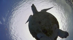 Hawksbill turtle - below view-29.97fps Stock Footage