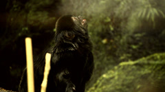 Small black monkey Stock Footage