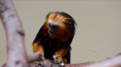 Golden headed lion tamarin monkey on white background Stock Footage