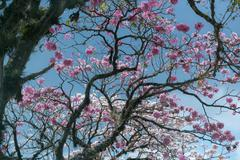 Tabebuia rosea - Roble Sabana Stock Photos
