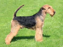 The airedale terrier Stock Photos