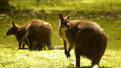 Couple of wallaby Stock Footage