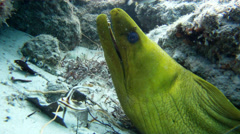Green Moray Eel underwater in the rocks of a coral reef Stock Footage