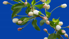 Flowers of an apple-tree blossom on a blue background - timelapse . Stock Footage