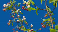 Flowers of an apple-tree blossom on a blue background - timelapse 4k. Stock Footage