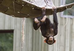 Playing chimpanzee - stock photo