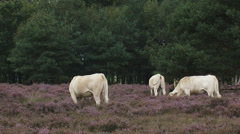 Stock Video Footage of Charolais cattle in blooming heathland + zoom out
