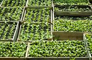 Stock Photo of sweet pepper seedlings sown in the wooden boxes