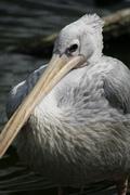 Pink-backed Pelican - Pelecanus rufescens - stock photo