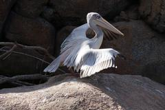 Pink-backed Pelican - Pelecanus rufescens Stock Photos