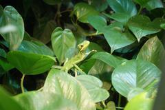 Cone-headed Lizard - Laemanctus longipes Stock Photos