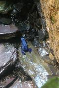 Blue Poison Dart Frog - Dendrobates azureus - stock photo