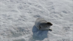 Polar Arctic Harp Seal Snow Stock Footage