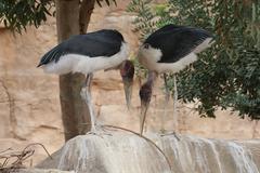 Marabou Stork - Leptoptilos crumeniferus - stock photo