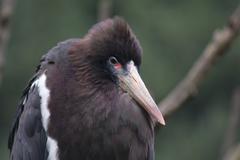Abdim's Stork - Ciconia abdimii Stock Photos