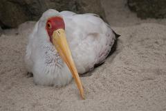 Yellow-billed Stork - Mycteria ibis Stock Photos