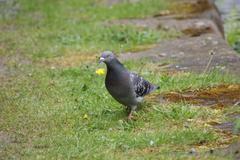 Rock Pigeon - Columba livia - stock photo